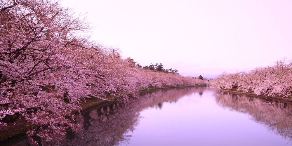 The Brief Beauty of the Cherry Blossom