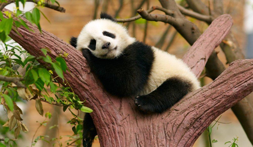 Wisdom from the Panda