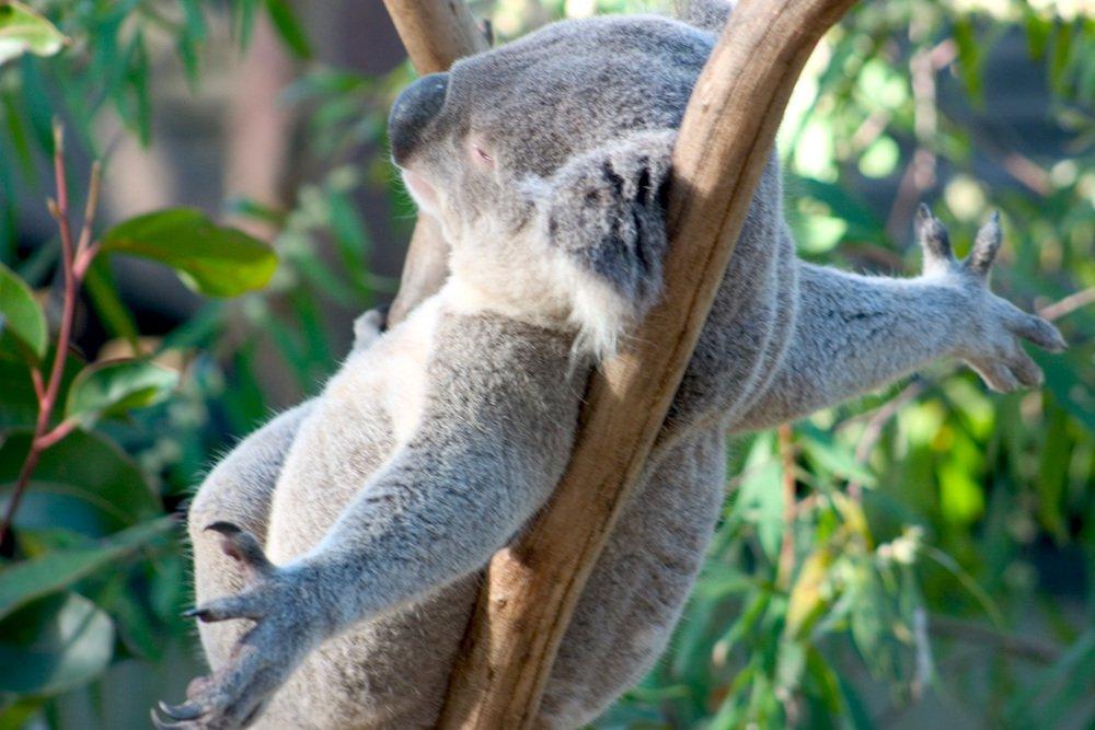 Wisdom from the Koala
